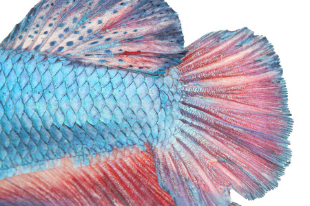 red  fish: close up scale and tail of fight fish on white background Stock Photo