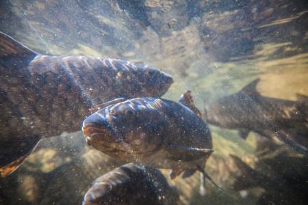 brooks camp: Soro brook carp or science name Neolissochilus stracheyi shoot under the water on Namtok Phlio national park Chanthaburi at Thailand