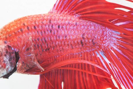 caudal fin: close up red scale of fight fish on white background Stock Photo
