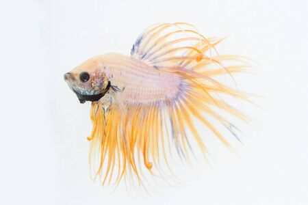 caudal fin: yellow fight fish on white background
