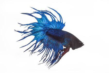 caudal: close up blue fight fish on white background Stock Photo