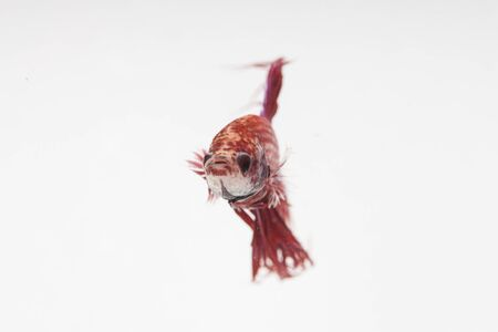 caudal: close up red fight fish on white background Stock Photo