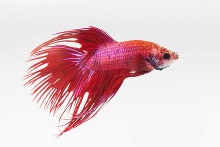 caudal fin: close up red fight fish on white background Stock Photo