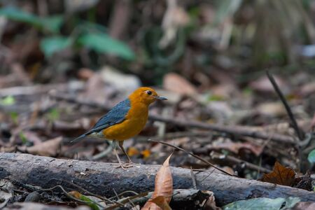 thrush: Orange-headed Thrush, Zoothera citrina Stock Photo