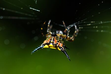 spiny: macro of Spiny orb weavers spider in rainforest at Thailand Stock Photo