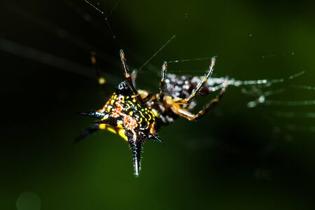 weavers: macro of Spiny orb weavers spider in rainforest at Thailand Stock Photo