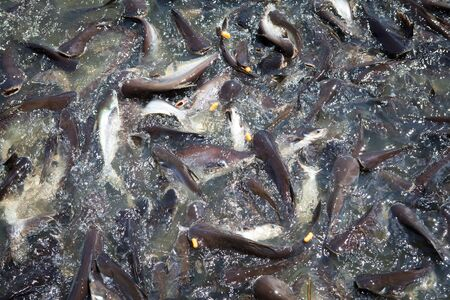 pangasius: Pangasius feeding in the river at temple area is culture Thailand and family activity. Stock Photo
