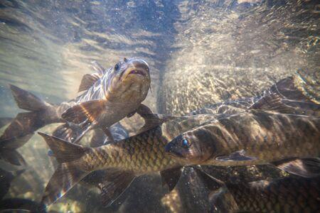 Soro brook carp fish shoot under the waterfall on Namtokphlio National Park Chanthaburi at Thailand. Blurry Background.