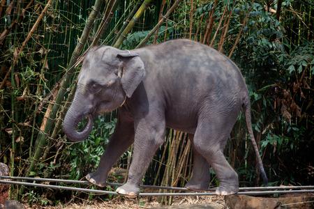 코끼리 쇼 동물원에 게재 슬링에 산책.