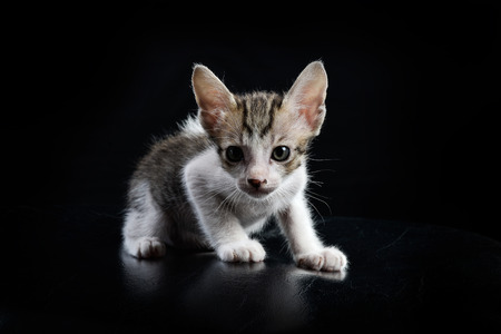 skepticism: Stray kitty isolated with black background, Shooting in studio.