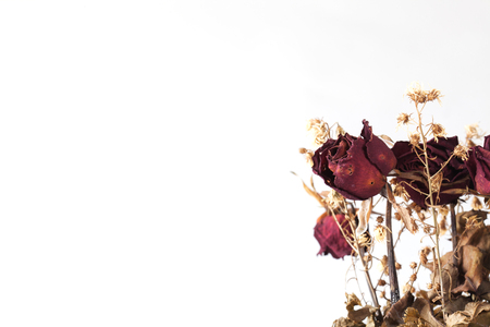 Red rose dry isolated on white background. Imagens