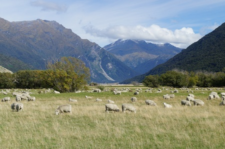 Group of Sheep in Cardrona valley - New Zealand photo