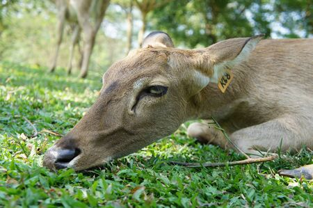 Deer resting in the grass                Stock Photo - 15421817