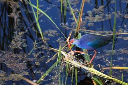 purple swamphen: The Purple Swamphen at the Khao Sam Roi Yot National Park in Thailand
