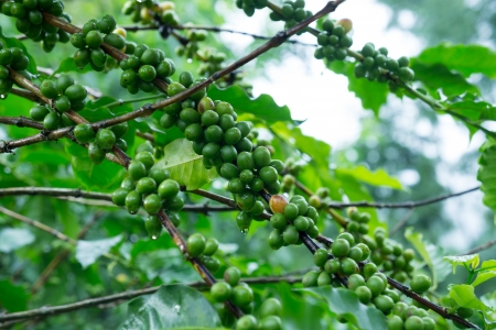 Coffee tree with green coffee beans on the branch photo