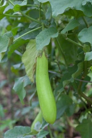 brinjal: Thai Long Green Eggplant Stock Photo