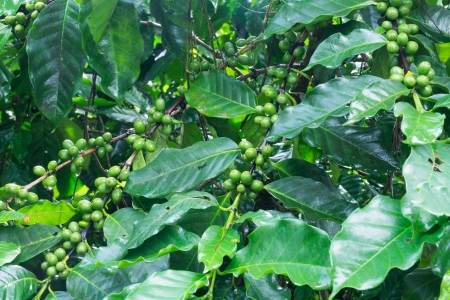 Coffee tree with green coffee beans photo