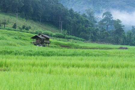Green rice paddy terrace and a small hut in Thailand photo