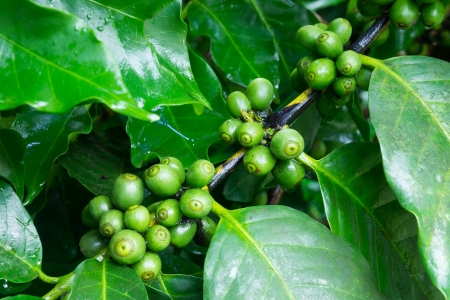 Unripe coffee beans on the branch photo