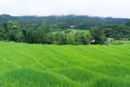 Terrace Rice fields, Northern of Thailand photo