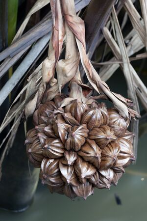 globular: A globular fruit cluster of the nipa palm (Nypa fruticans) Stock Photo