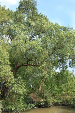 myrtales: Mangrove trees in the river shore