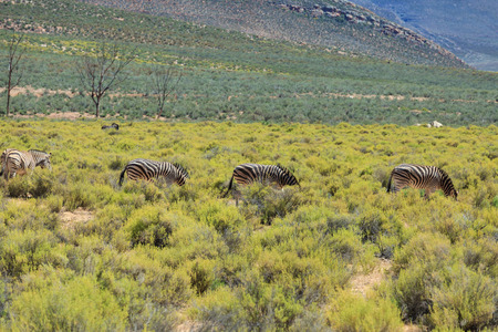 Zebras on safari in South Africa photo