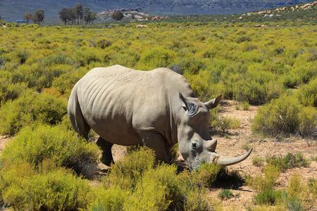 Rhinoceros in Kruger National Park, South Africa