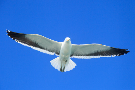 air animals: White Seagull Flying