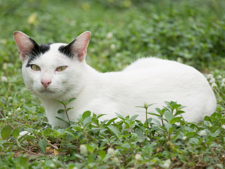 fluffy ears: White Cat with Small Black Spots on Its Ears  Laying on Grass