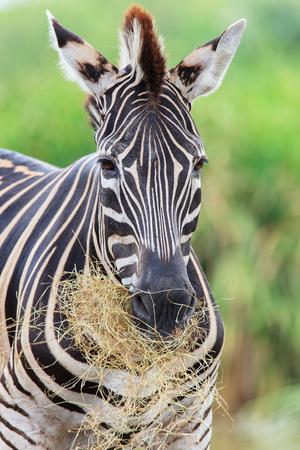 gaze: Zebras gaze grass in the open zoo