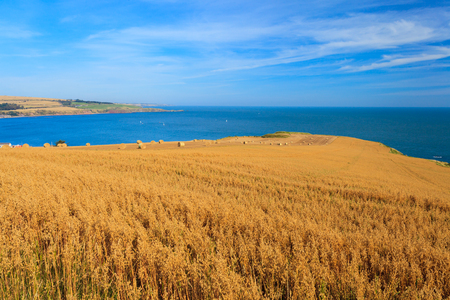 harvest field: Wheat field and blue sky with clouds at shore line close to North sea, Aberdeen, Scotland, UK Stock Photo