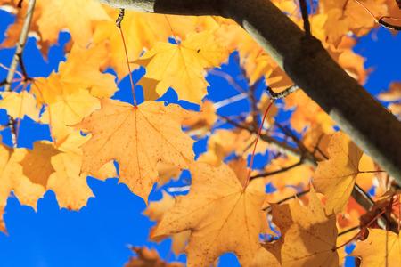 naranja arbol: Amarillas hojas de arce del oto�o en Aberdeen, Escocia Reino Unido