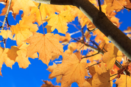 maple trees: Yellow Maple Autumn Leaves  in Aberdeen, Scotland UK