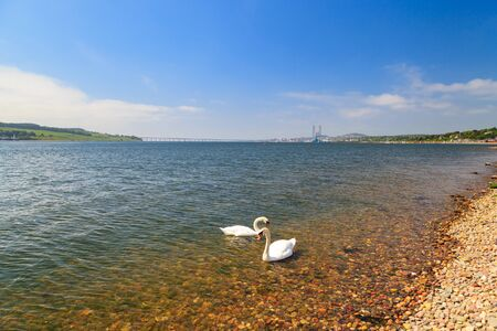dundee: Swan in the river Tay on sunny day in Dundee, Scotland, UK Stock Photo