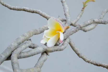 linn: White Champa flower on branch