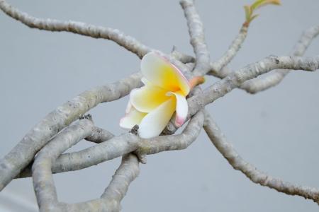 champa flower: White Champa flower on branch