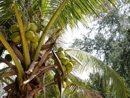 phangan: Coconut Garden at Mae Haad, Koh Phangan, Thailand