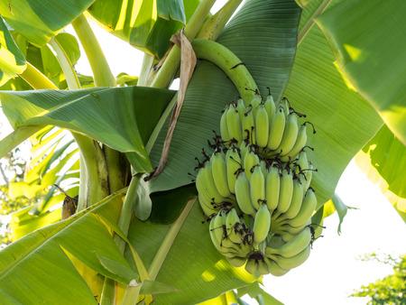 unripe: Unripe bananas in the bananas garden