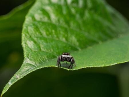 arachnidae: Jumping Spider on the green leaf
