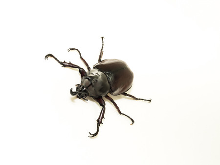 escarabajo: Escarabajo de rinoceronte, rinoceronte escarabajo, escarabajo H�rcules