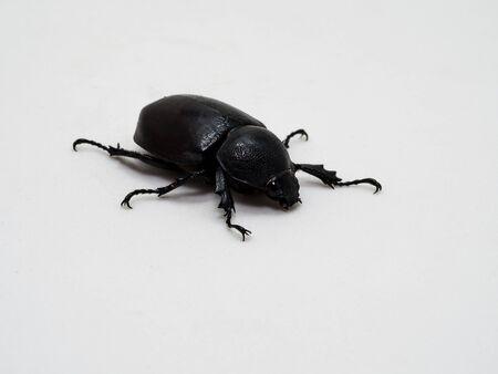 hercules: Rhinoceros beetle, Rhino beetle, Hercules beetle