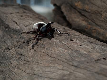beetle: Rhinoceros beetle, Rhino beetle, Hercules beetle, Unicorn beetle, Horn beetle Stock Photo
