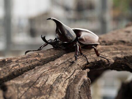 nashorn: Nashornkäfer, Nashornkäfer, Herkuleskäfer Unicorn Käfer, Horn Käfer