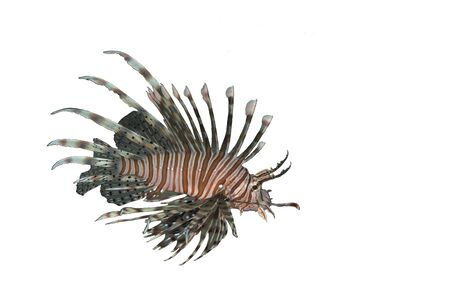 lionfish: Underwater picture of lionfish