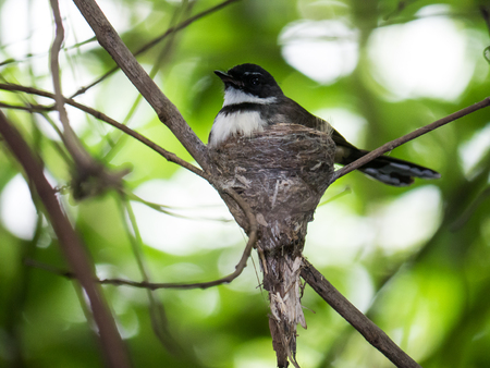 pied: Malaysian Pied Fantail  incubate eggs Stock Photo