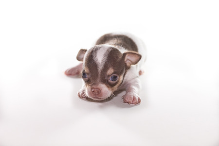 brown and black dog face: Cute Puppy Chihuahua