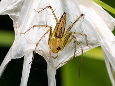 spider lily: The camouflage of Spider Flower on Spider Lily