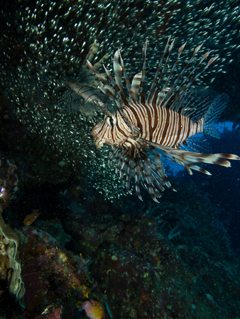 lionfish: Underwater image of Lionfish and their meal