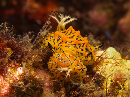 nudi: Underwater picture of Halgerda tesellata Sea Slug mating